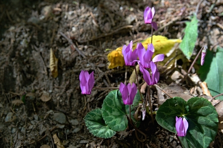 Several purple blooms of cyclamen in a forest