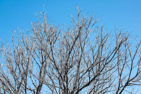 arboles secos: Los �rboles muertos Fondo del cielo Foto de archivo