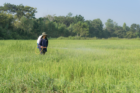 foliar: Farmers are spraying foliar fertilizer in rice fields.