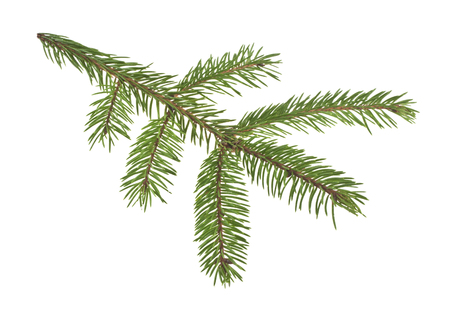 branch of Christmas tree isolated on white background Stockfoto