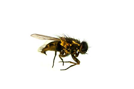 fly isolated on white background Stock Photo