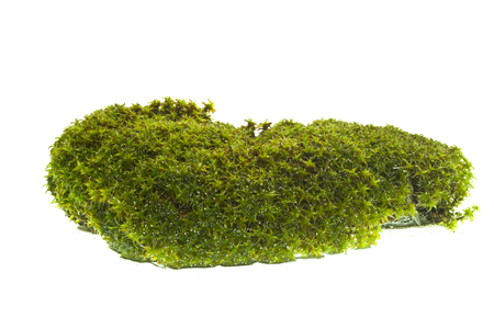 moss isolated on white background Archivio Fotografico