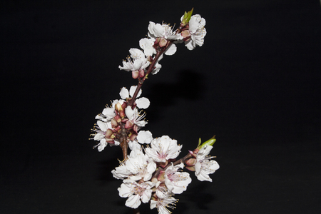 branch of an apple-tree isolated on a black background