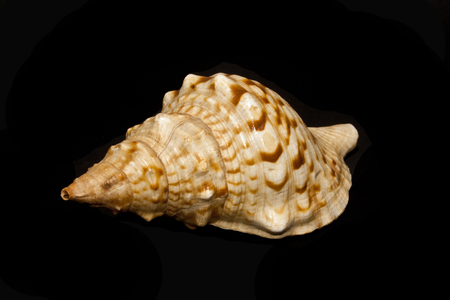 shell isolated on black background