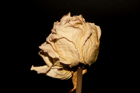 dry rose isolated on black background