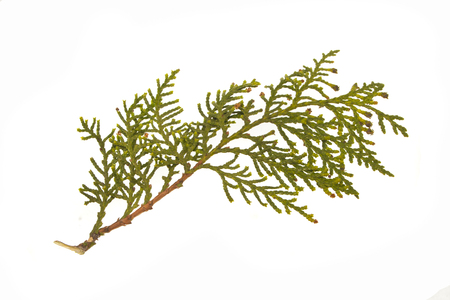 thuja isolated on white background Zdjęcie Seryjne - 121820254