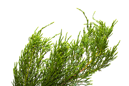 thuja isolated on white background