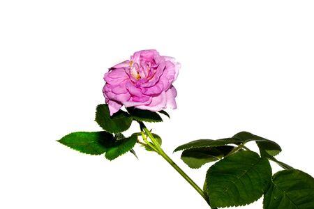 flower isolated on white background Standard-Bild - 124651155