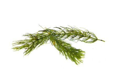 seaweed isolated on white background Imagens