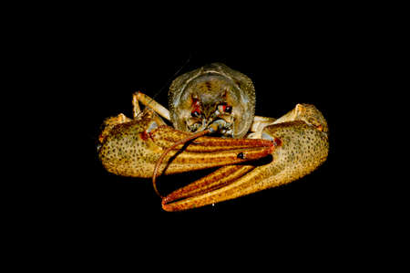 crayfish isolated on black background 写真素材