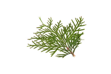 thuja branch isolated on white background 写真素材