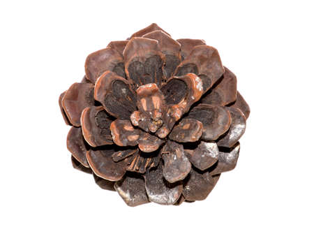 pine cone isolated on white background