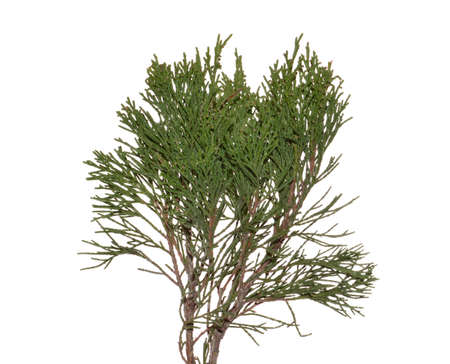 thuja isolated on white background Banque d'images