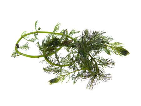 seaweed isolated on white background 版權商用圖片