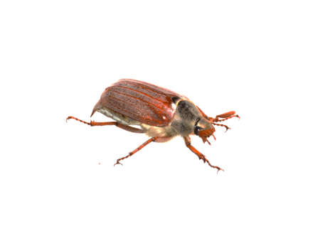 May beetle isolated on white background