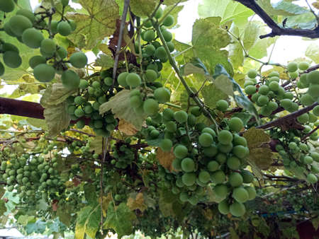 summer grapes on the gazebo -close-up