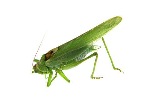 grasshopper isolated on white background 免版税图像
