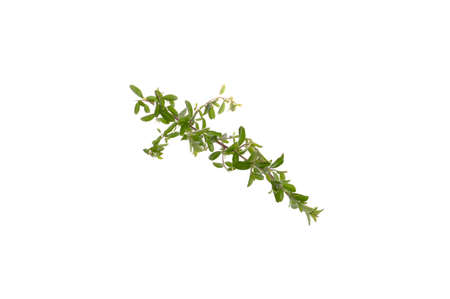 bush branch isolated on white background