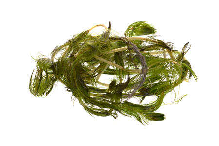 seaweed isolated on white background 免版税图像