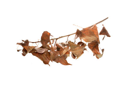 dry leaves isolated on white background