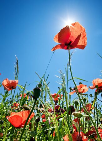 Poppy field background with sunlight photo