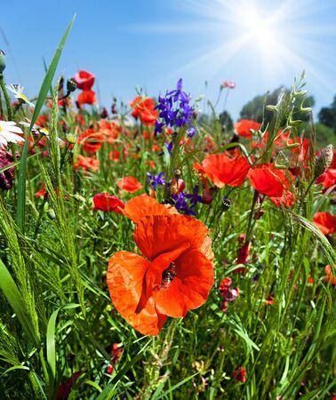 Poppy field background with sunlight