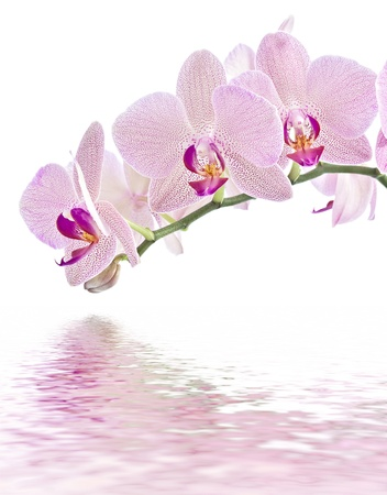 orchid branch: Phalaenopsis. Orchid on white and water reflection