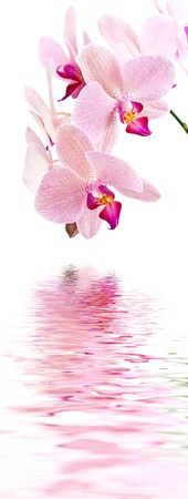 Phalaenopsis. Orchid on white and water reflection