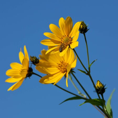 Jerusalem artichoke. Helianthus tuberosus L. photo