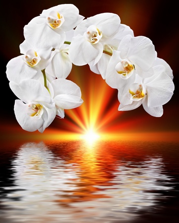 White orchid, sun and water reflection photo