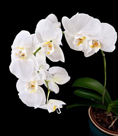 Phalaenopsis. White orchid on black background