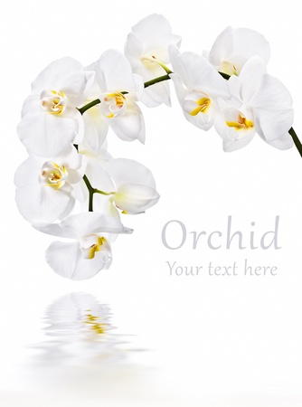 White phalaenopsis orchid on white background Stock Photo