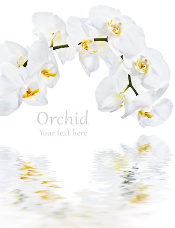 botanical branch: White orchid and water reflection