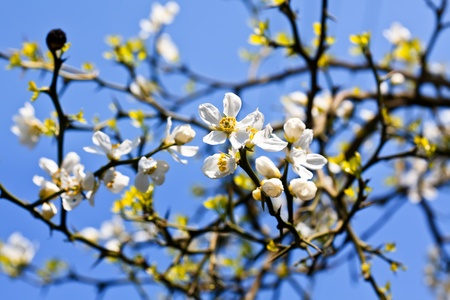 Poncirus Trifoliata. White spring flowers and blue sky Stock Photo