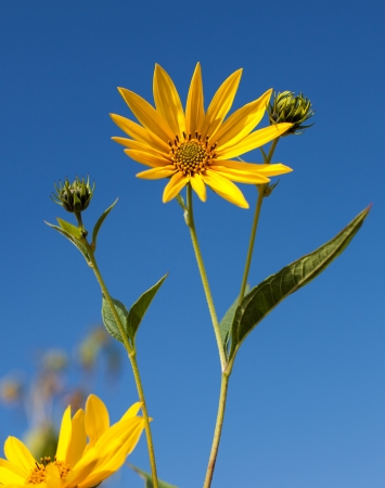 Topinambur. Jerusalem artichoke on blue sky background photo