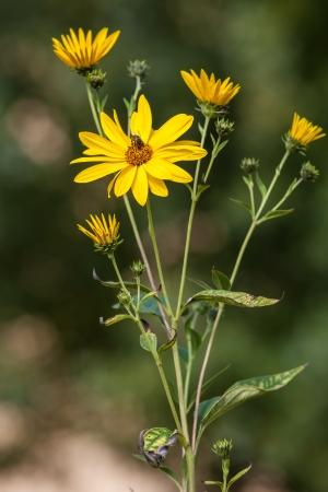 pedicel: Topinambur. Jerusalem artichoke on soft nature background Stock Photo