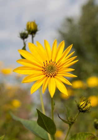 Topinambur. Jerusalem artichoke on soft nature  background photo
