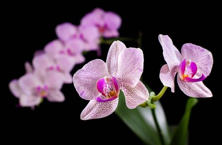 Phalaenopsis. Orchid on black background photo