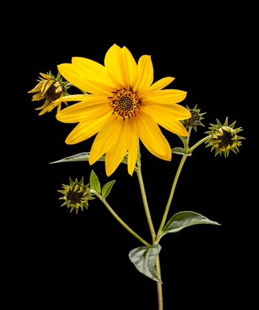 Topinambur. Jerusalem artichoke isolated on black background  photo