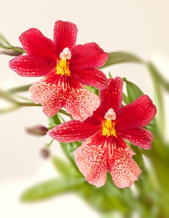 Cambria  Red and white flower orchid  photo