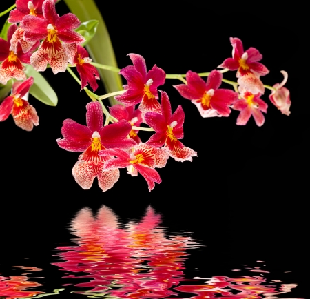 Cambria  Red and white flower orchid with water reflection