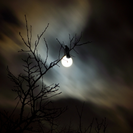 Raven siting on the branch and fullmoon night photo