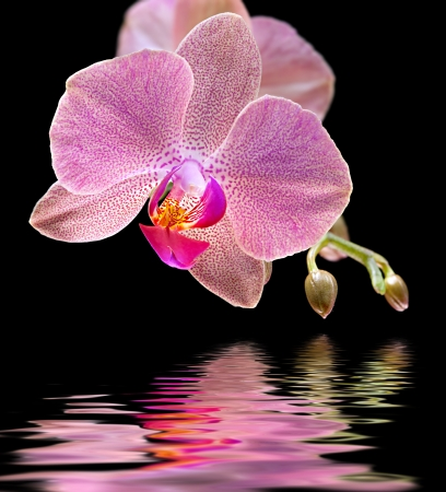 pink orchid: Phalaenopsis. Orchid and water reflection