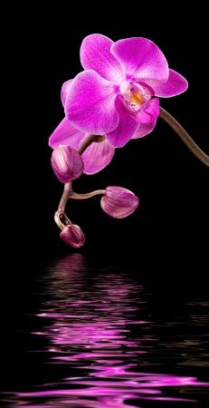 Phalaenopsis. Kleurrijke roze orchidee en water reflectie