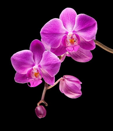 Phalaenopsis. Colorful pink orchid on black background