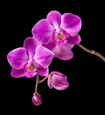Phalaenopsis. Kleurrijke roze orchidee op zwarte achtergrond Stockfoto