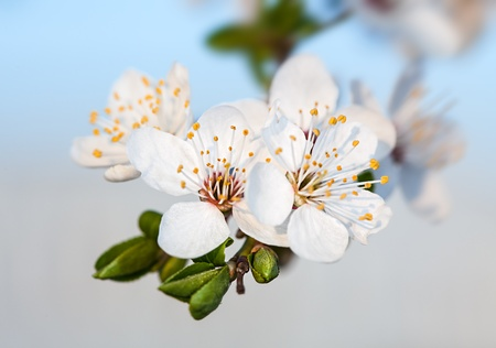 Spring. Soft image of  blossoming tree brunch with white flowers photo