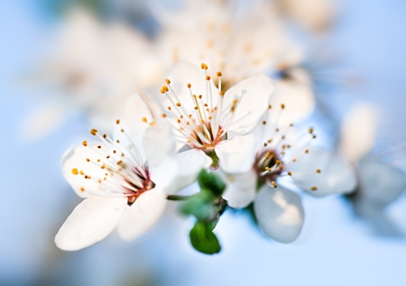 Spring. Soft focus image of  blossoming tree brunch with white flowers photo