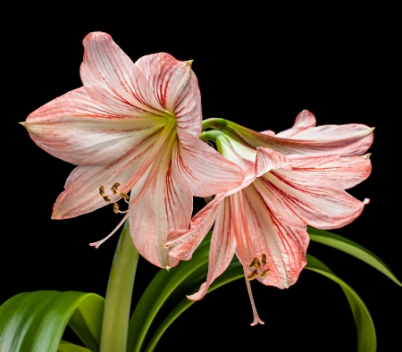 Amaryllis (Hipperastrum) flowers isolated on black background photo
