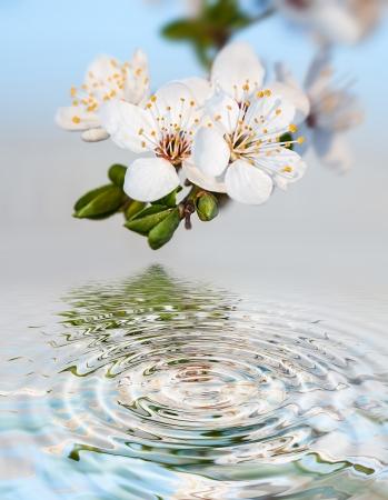 Primavera. Florecimiento almuerzo �rbol con flores de color blanco y la reflexi�n del agua photo